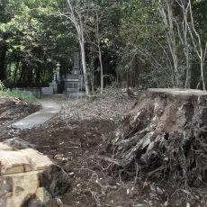 大木の根っこです。